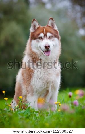 brown siberian husky posing
