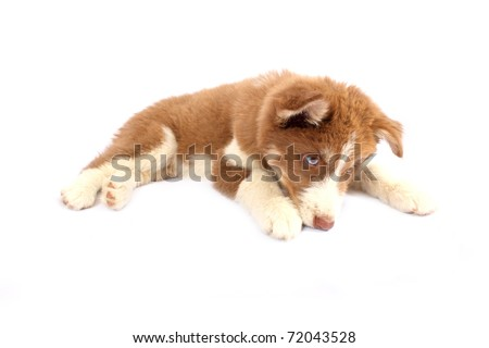 Brown Siberian Husky sniffing ground