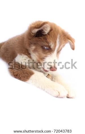 Brown Siberian Husky staring at paws