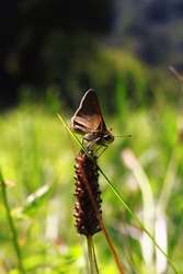 Brown skipper butterfly in a field in summer.