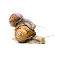 brown snail carries the other snail on the back