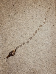 Brown snail crawls on the ground with footprints.