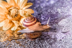brown snail is crawling against the backdrop of shiny bright bokeh and a yellow flower. closeup of a brown snail in front of a yellow flower. brown snail on a background of shiny drops