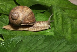 brown snail slow-moving among grass and leaves
