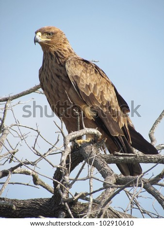 Brown Snake Eagle.