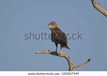 Brown Snake Eagle (Circaetus cinereus), Venetia Limpopo Nature Reserve, Limpopo Province, South Africa.