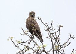 Brown Snake Eagle is sitting in the top of a tree
