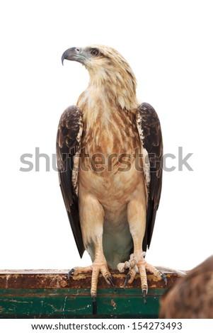 Brown snake eagle on white background