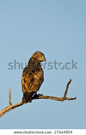 Brown snake-eagle perched on dead branch in early morning sunlight; circaetus cinereus; South Africa - stock photo