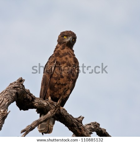 Brown snake eagle sitting on a perch with a blue sky background