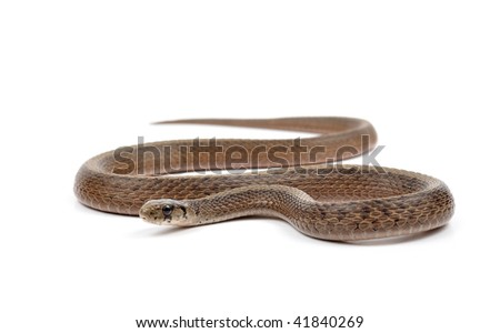 Brown Snake isolated on a white background. - stock photo