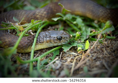 Brown snake sitting in grass