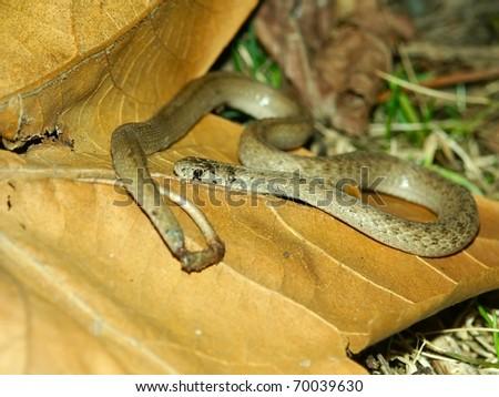 Brown Snake (Storeria dekayi) at Kickapoo State Park in central Illinois