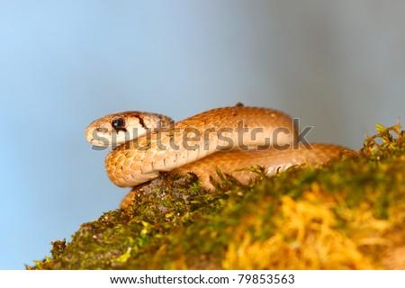 Brown Snake (Storeria dekayi) sitting on a log in the spring