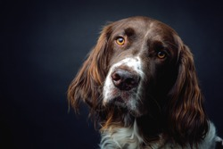 Brown Spaniel looking in the camera