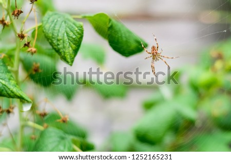 Brown spider and spider web between raspberry leaves. #1252165231