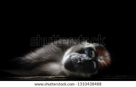 Brown spider monkey animal, zoo. Taking a nap. black background.