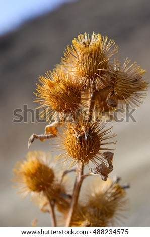 Brown spiny weeds close up - Shutterstock ID 488234575