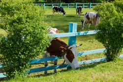 Brown spotted cow is grazing with push his head through the wooden longitudinal fence bars on an enclosed pasture