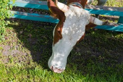 Brown spotted cow is grazing with push his head through the wooden longitudinal fence bars on an enclosed pasture, close-up