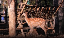 brown spotted deer bambi eats hay from a cart