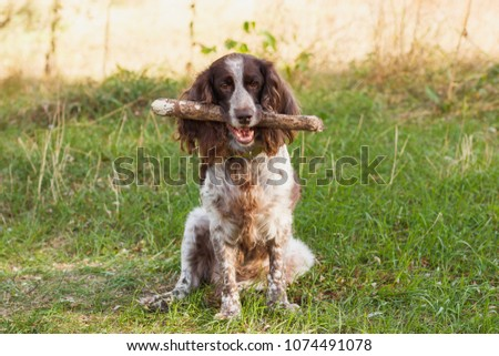 Brown spotted russian spaniel in the forest, soft focus background #1074491078