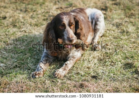 Brown spotted russian spaniel in the forest, soft focus background #1080931181