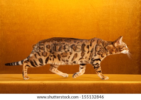 Brown spotted tabby Bengal cat on gold background
