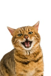 Brown Spotted Tabby Bengal Domestic Cat, Portrait of Adult Snarling against White Background