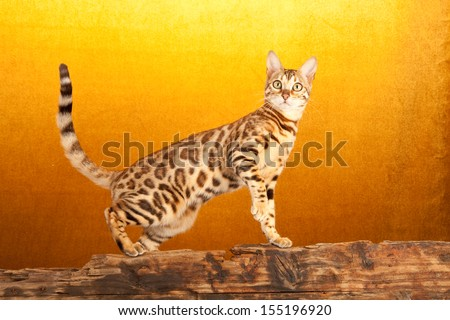 Brown spotted tabby Bengal standing on wooden log on gold background