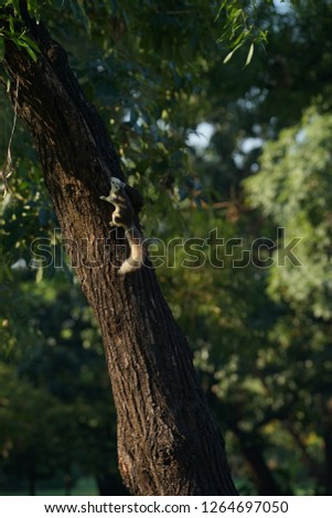 Brown Squirrel climbing on a tree. #1264697050