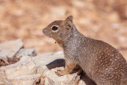 Brown Squirrel in Grand Canyon National Park in Arizona