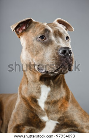 Brown staffordshire terrier isolated on grey background. Studio portrait.