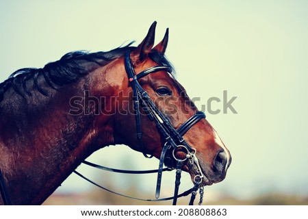 Brown stallion. Portrait of a sports brown horse. Riding on a horse. Thoroughbred horse. Beautiful horse. #208808863
