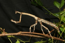 Brown stick insect from Tamil Nadu, South India