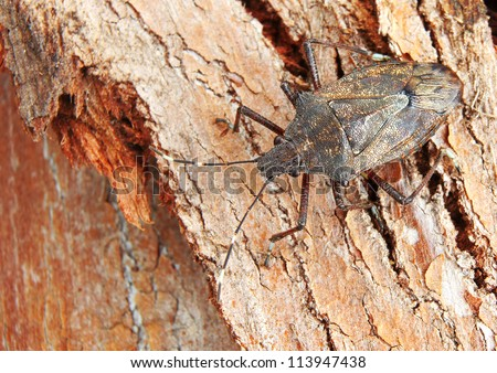 Brown Stink Bug (pentatomidae) Camouflaged against textured Tree Bark - stock photo