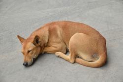 Brown stray dog sleeping on Concrete pavement