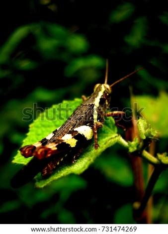 brown stripe grasshopper #731474269