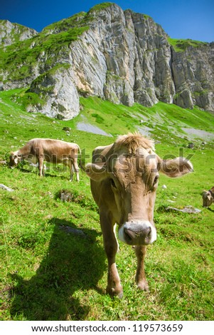 Brown Swiss Cow in the Alps