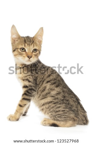 Brown Tabby Cat, Felis Catus, Isolated on White - stock photo