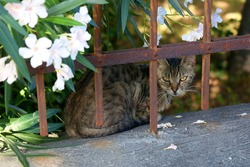 Brown tabby cat hiding behind the fence in a Mediterranean garden. Selective focus.