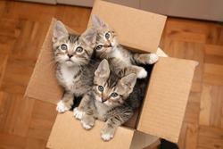 Brown tabby cat kittens in cardboard box