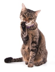 Brown tabby cat licking her paw on white