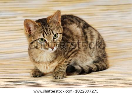 Brown tabby cat on mackerel background
