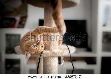 Brown tabby cat with green eyes lying on a scratching tower, tries to catch the tail of another cat   Stock photo ©