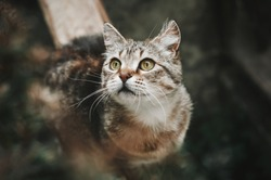 Brown tabby cat with green-yellow eyes on a white background. Beautiful cat on the nature looks up. The cat preys on birds. Top view. Outdoors.