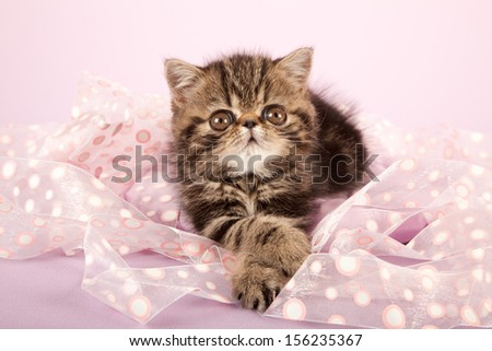 Brown tabby Exotic kitten lying on pink ribbon on lilac pink background