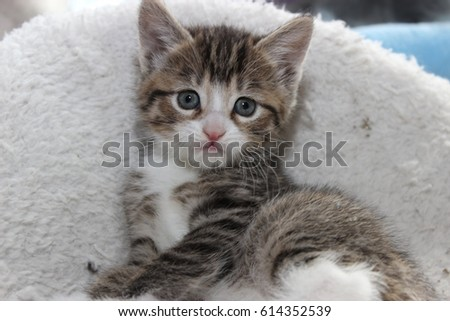 fluffy brown tabby and white kitten ez canvas