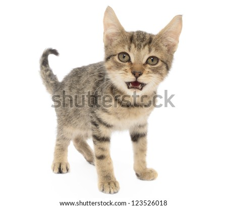 Brown Tabby kitten, Felis catus, isolated on White
