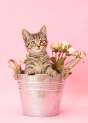 Brown tabby kitten sitting in a metal pail with small pink roses, pink background.
